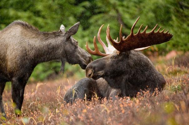moose-591110_1920